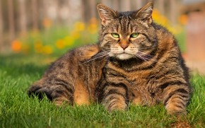Picture grass, cat, grey, lies, striped, thick