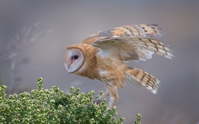Picture greens, pose, owl, bird, wings, light background, the barn owl
