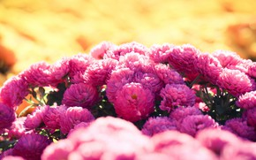 Picture flowers, Bush, garden, pink, flowerbed, chrysanthemum, bokeh