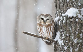 Picture winter, look, snow, tree, owl, bird, branch, snowfall, bitches, owl