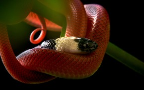 Picture look, snake, stem, black background, red, reptile