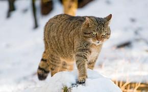 Picture winter, cat, snow, wild, forest, wildcat, wild cat, European