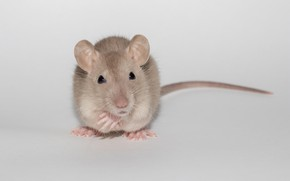 Picture animal, cute, light background, rat