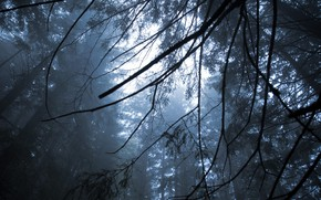 Picture forest, the sky, trees, branches, nature, fog
