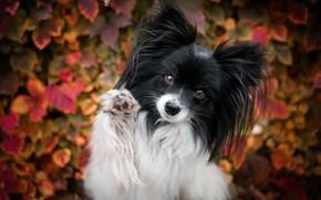 Picture autumn, leaves, pose, background, foliage, paw, portrait, dog, Papillon, Papillon
