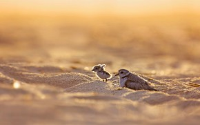 Picture bird, chick, yellow-footed Plover