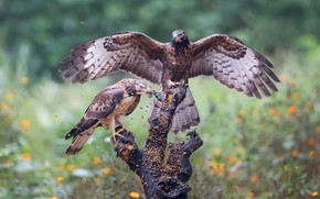 Picture look, flowers, birds, insects, nature, pose, glade, two, wings, pair, snag, Falcon, a lot, mining, …