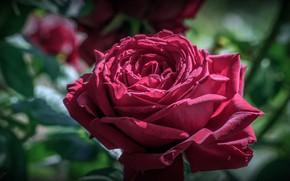 Picture flower, leaves, macro, light, rose, petals, Bud, red, green background, raspberry, bokeh, lush, Burgundy, garden