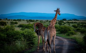 Picture road, field, the sky, mountains, nature, pose, blue, vegetation, dal, pair, giraffes, Africa, walk, two, …