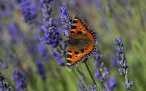 Picture macro, flowers, butterfly, lavender, lilac