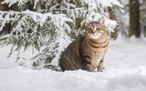 Picture winter, cat, cat, snow, cat, Максим Вышарь