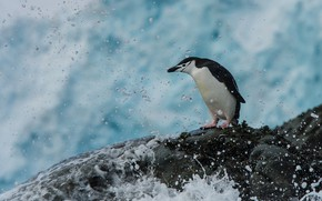 Picture sea, water, squirt, bird, stone, penguin
