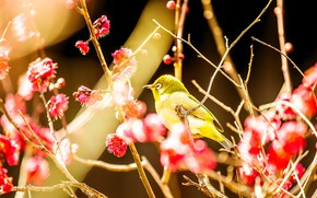 Picture light, flowers, branches, bird, beauty, blur, spring, Sakura, red, pink, bright, bird, flowering, yellow, bokeh, …