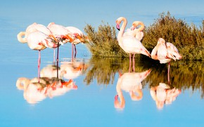 Picture water, light, birds, reflection, pack, the bushes, Flamingo, pond