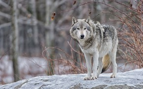 Picture winter, look, face, snow, branches, nature, grey, background, stone, wolf, paws, the bushes, bokeh
