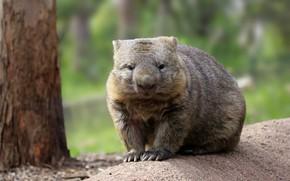 Picture look, Australia, mammals, chord, tolstyachok, marsupials, Wombat, dvortsovye, ambatovy
