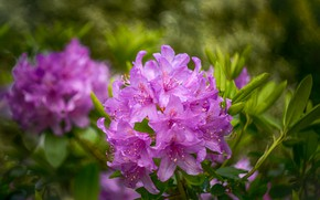 Picture leaves, drops, flowers, background, spring, flowering, lilac, bokeh, Azalea, rhododendrons