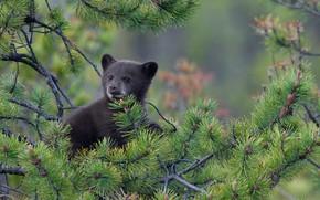 Picture bear, pine, baribal, black bear