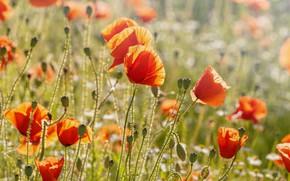 Picture field, flower, summer, light, flowers, Mac, Maki, meadow, red, buds, a lot, bokeh, poppy field