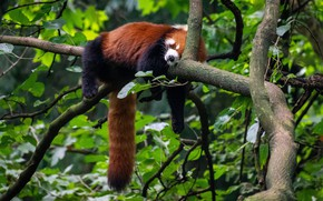 Picture greens, branches, nature, pose, tree, foliage, sleep, paws, hung, sleeping, lies, red Panda, on the …