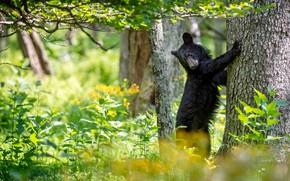 Picture greens, pose, tree, black, bear, is, baribal