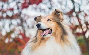 Picture face, portrait, dog, collie, sheltie
