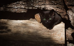 Picture cat, look, light, the dark background, kitty, tree, black, log, bark, face, green eyes, Peeps