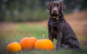Picture dog, pumpkin, Retriever