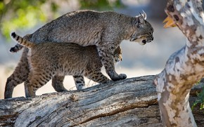 Picture pose, two, pair, log, lynx, lynx, mom, a small lynx, a small lynx