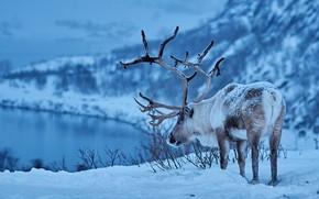 Picture winter, snow, deer, horns, Reindeer