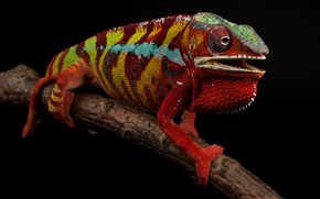 Picture red, pose, chameleon