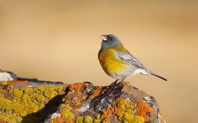 Picture nature, bird, Cordillera sanochnik