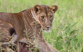 Picture grass, look, face, pose, portrait, lioness, young