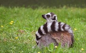 Picture grass, pose, tail, lemur, sitting