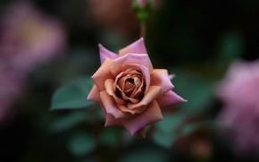 Picture pink, rose, bokeh