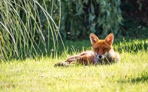 Picture grass, look, light, branches, nature, Fox, lies, bokeh