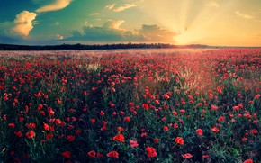 Picture summer, sunset, flowers, Maki, the evening, poppy field