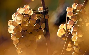 Picture light, berries, grapes