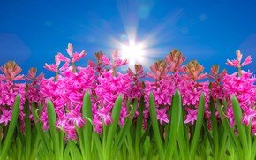Picture the sky, pink flowers, hyacinths