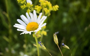 Picture field, summer, Daisy field, loves me-loves me not, the smell of the grass