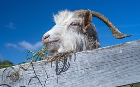 Picture the sky, the fence, goat
