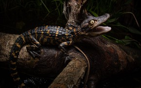 Picture the dark background, tree, black, predator, baby, crocodile, mouth, snag, cub, young, Caiman, crocodile