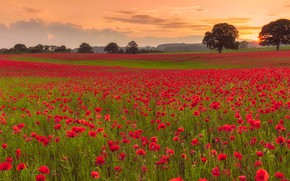 Picture field, trees, sunset, flowers, Maki, meadow