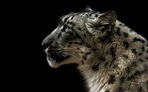 Picture face, portrait, profile, IRBIS, snow leopard, black background