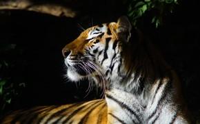 Picture face, leaves, light, tiger, portrait, profile, black background