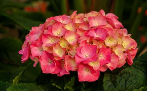 Picture close-up, inflorescence, pink hydrangea