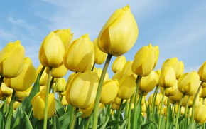 Picture flowers, tulips, yellow