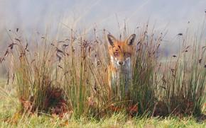 Picture grass, nature, Fox, Fox