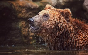 Picture face, water, wet, bear