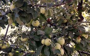 Picture garden, harvest, Apple